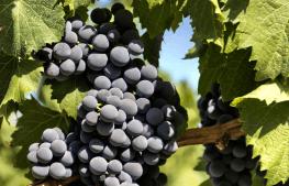 Imagem Uvas da vinícula Altivo
